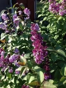 Mary Ann's Lilacs