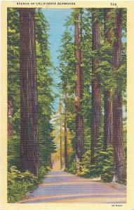 California Redwoods vintage postcard