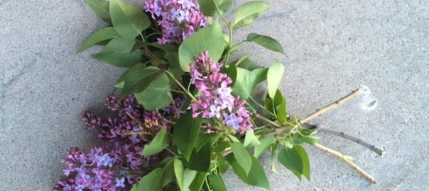 Lilacs from my neighborhood