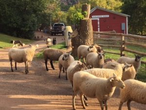 Sheep at Avalanche Ranch